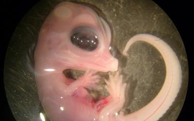 Alligator embryo.