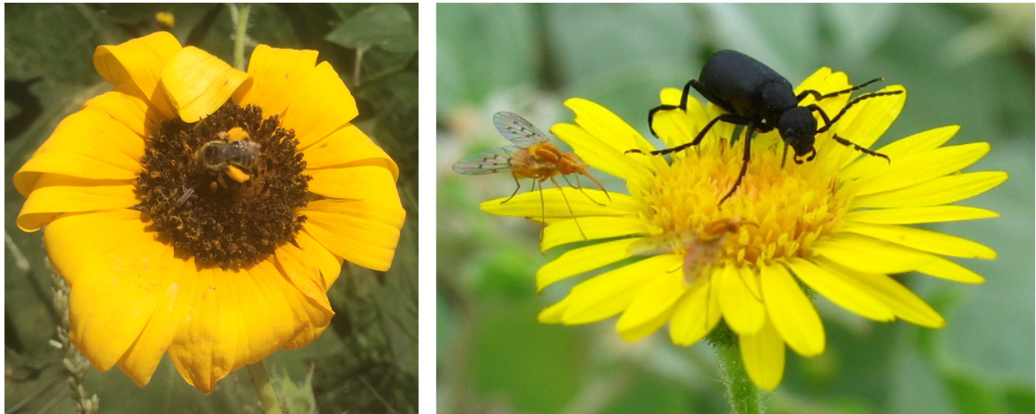 A bee, a fly and a beetle visiting flowers